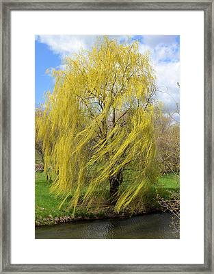 Framed Print featuring the photograph Wind In The Willow by Viviana  Nadowski