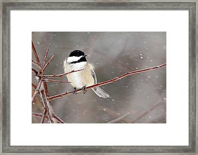 Windblown Chickadee Framed Print by Debbie Oppermann