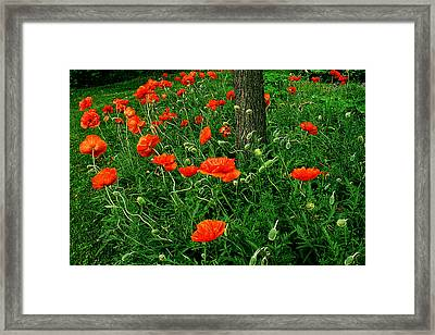 Windblown Poppies Framed Print by Roger Soule