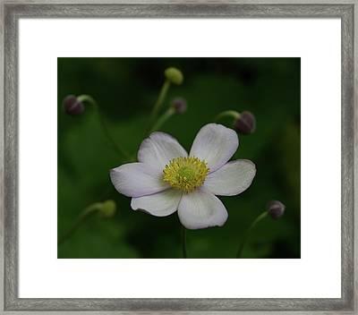 Windflower 1 Framed Print by Denise McKay