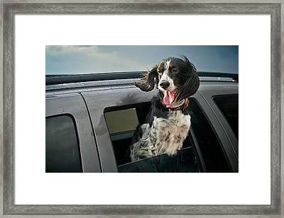 Hanging Out, English Setter Framed Print by Flying Z Photography By Zayne Diamond