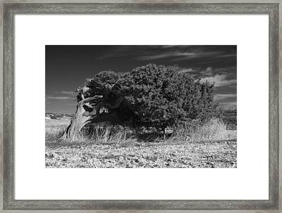 Windswept Olive Tree Framed Print by Donald Buchanan