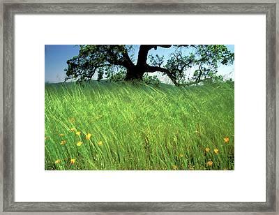 Windswept Poppies Framed Print by Kathy Yates