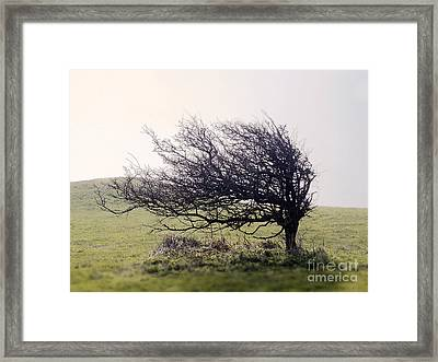 Windswept Tree Framed Print