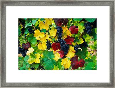Wine Grapes On Vine, Autumn Color Framed Print by Panoramic Images
