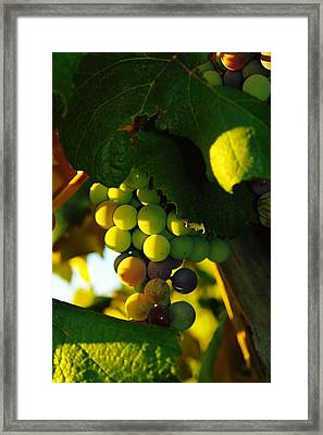 Wine Grapes Shaded By Leaves Framed Print by Jeff Swan