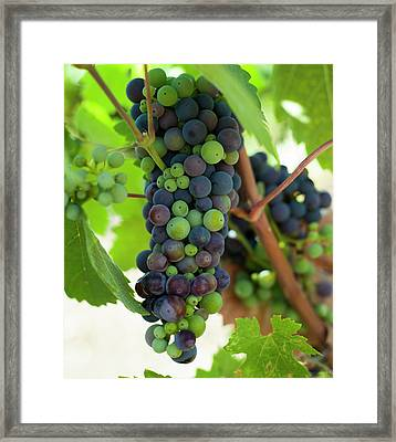 Wine Grapes Framed Print by Sharon West