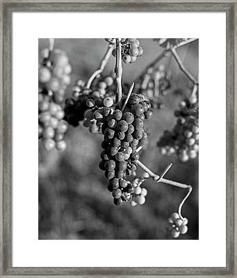 Wine In Process Vineyard Grapevine In Sebastopol Ca Purple And Green Grapes Black And White Framed Print by Toby McGuire