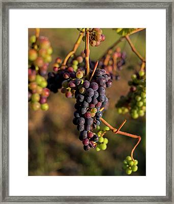 Wine In Process Vineyard Grapevine In Sebastopol Ca Purple And Green Grapes Framed Print by Toby McGuire