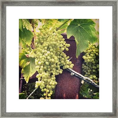 #wine On The #vine . Love These Little Framed Print