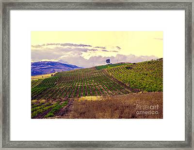 Wine Vineyard In Sicily Framed Print