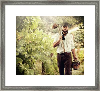 Winegrower While Harvest Grapes Framed Print by Antonio Gravante