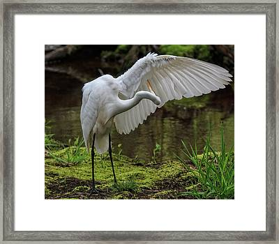 Framed Print featuring the photograph Wing Cleaning by Robert Pilkington