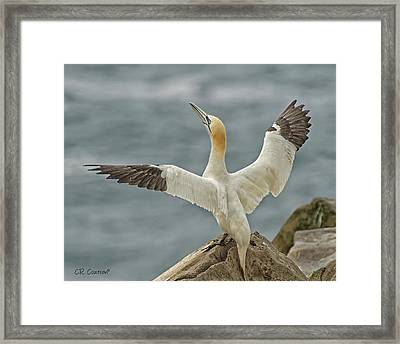 Wing Flap Framed Print by CR Courson
