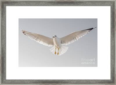 Framed Print featuring the photograph Winged Messenger by Chris Scroggins