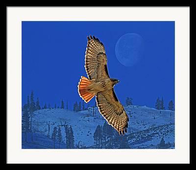 Hawk Framed Prints