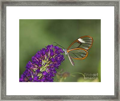 Wings Like Glass Framed Print by Ruth Jolly