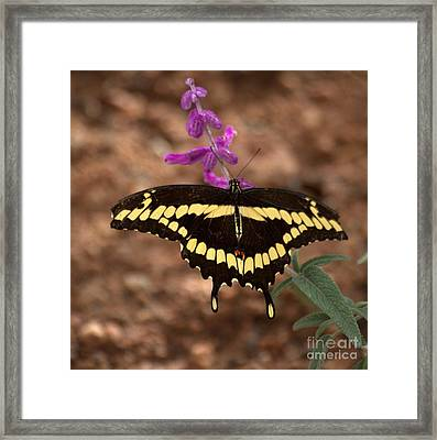 Wings Of A Giant Swallowtail Framed Print