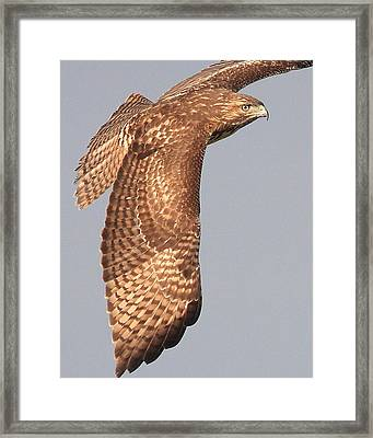 Wings Of A Red Tailed Hawk Framed Print by Wingsdomain Art and Photography