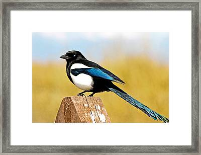 Winking Magpie Framed Print