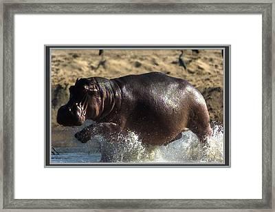 Winner Of The Herd Harem Hippopotamus Framed Print