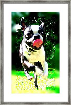 Winston  Framed Print by Amanda  Sanford