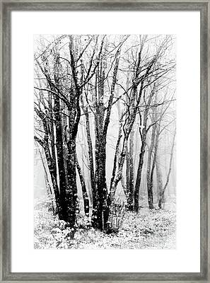 Winter Bare Trees In A Spring Fog Bw Framed Print by Dan Carmichael