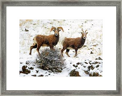 Winter Bighorn Pair Framed Print