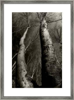 Winter Birch Framed Print by Kim Zier