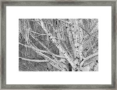 Icy Winter Birch Tree  Framed Print