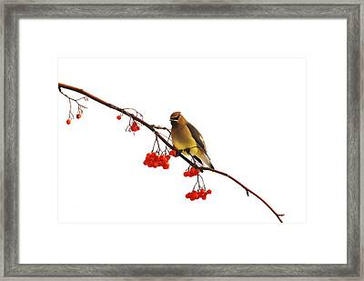 Winter Birds - Waxwing  Framed Print