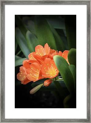 Winter Bloom Clivia Framed Print by Julie Palencia