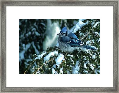Winter Blue Jay Framed Print by Andrew Oliver