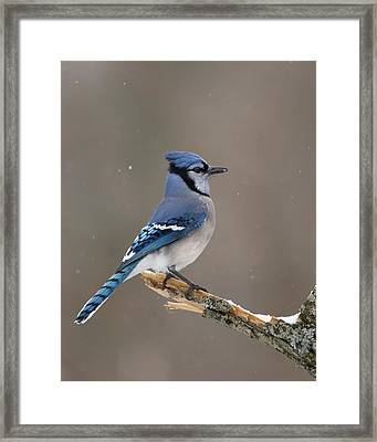Winter Blue Jay Framed Print by Timothy McIntyre