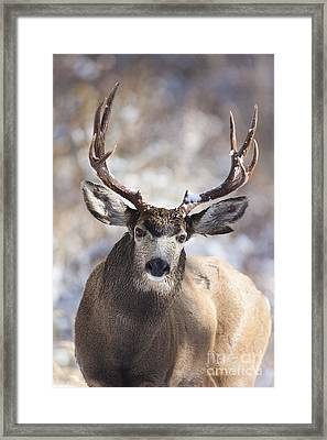 Winter Buck II Framed Print