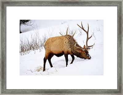 Framed Print featuring the photograph Winter Bull by Greg Norrell