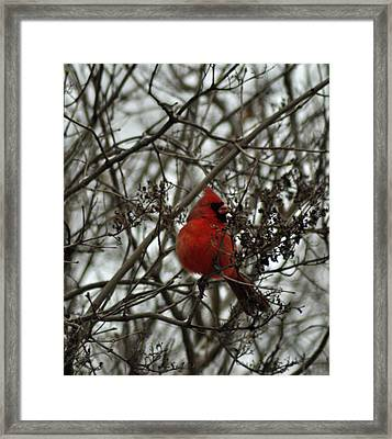 Winter Cardinal 1 Framed Print by Maria Suhr