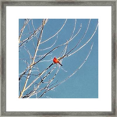 Framed Print featuring the photograph Winter Cardinal  by Deb Martin-Webster