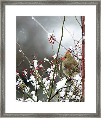 Framed Print featuring the photograph Winter Cardinal by Gary Wightman