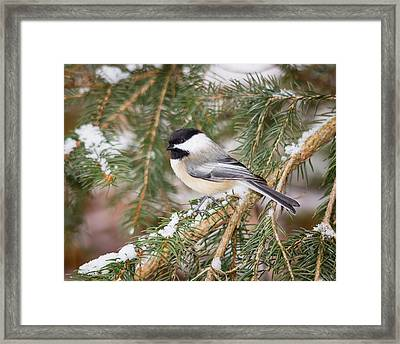 Winter Chickadee Framed Print