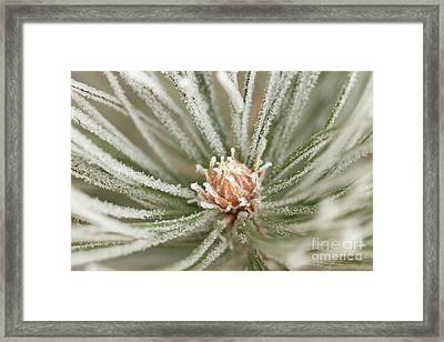 Framed Print featuring the photograph Winter Evergreen by Ana V Ramirez