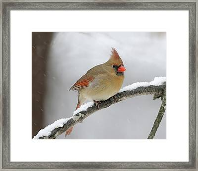 Winter Female Cardinal Framed Print
