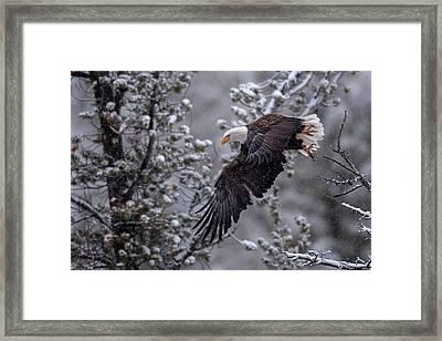 Winter Flight Framed Print by Sandy Sisti