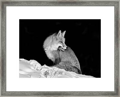 Winter Fox #2 Black And White Framed Print