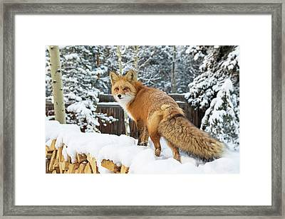 Winter Fox On Woodpile Framed Print by Mindy Musick King