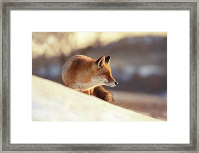 Winter Fox Warmed By The Sun Framed Print
