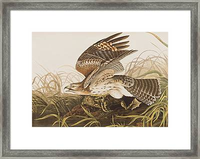 Winter Hawk Framed Print by John James Audubon
