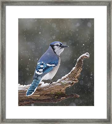 Framed Print featuring the photograph Winter Jay by Mircea Costina Photography