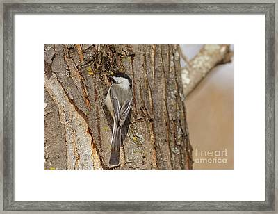 Winter Little Chickadee Framed Print by Natural Focal Point Photography