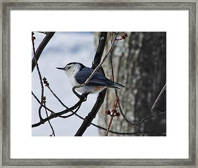 Framed Print featuring the photograph Winter Nut Hatch by Al Fritz